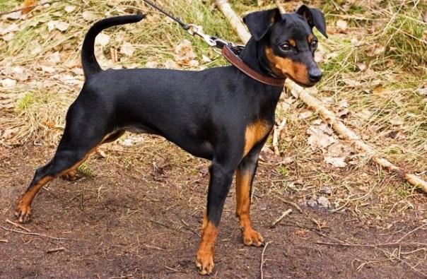 Un esemplare di cane Pinscher