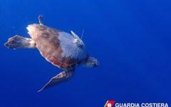 Livorno: torna in mare Goccia, la tartaruga rimasta impigliata in una rete da pesca
