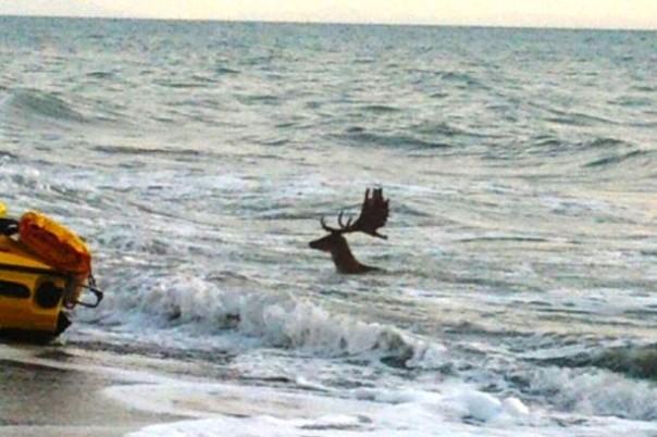 Un daino è finito in mare a Marina di Castagneto Carducci (Livorno)