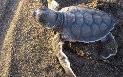 Isola d'Elba: tartaruga caretta-caretta nidifica sulla spiaggia di Marina di Campo
