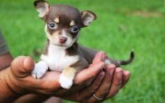 Grosseto, ladri in casa: rubati anche due cani chihuahua