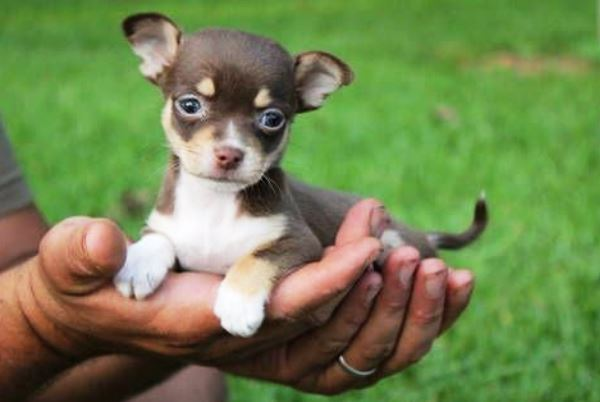 Un cagnolino chihuahua