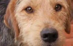Greve in Chianti: 400 euro del comune a chi adotterà il cane Pipino