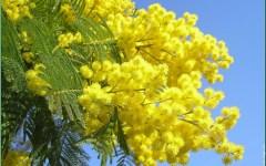 8 marzo 2016, festa della donna: la mimosa compie 70 anni. E dal 1946 le donne, in Italia, votano