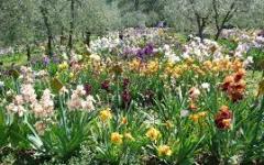 Firenze: fiorisce il giaggiolo, riapre il giardino dell'Iris al Piazzale Michelangelo