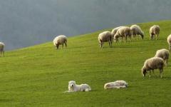Manciano: nuovo assalto di lupi a un gregge, i pastori decisi a abbandonare l'attività