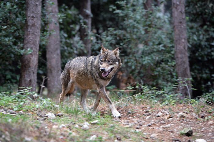 Pasetto contro l'abbattimento dei lupi: