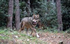 Toscana, lupi: una delegazione di allevatori e pastori di Coldiretti ha incontrato il ministro Galletti