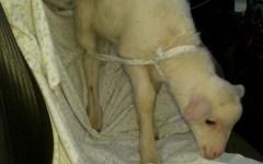 LIVORNO agnelllo salvato dalla Polstrada