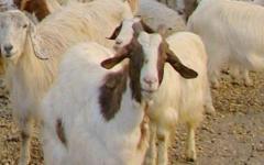 Regione Toscana: latte ovino-caprino, nuovi bandi per rilanciare il settore