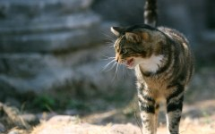 Pontedera, gatto in Duomo: aggredisce e graffia il parroco