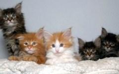 Firenze: «I gatti più belli del mondo» a Calenzano. Esposizione internazionale felina