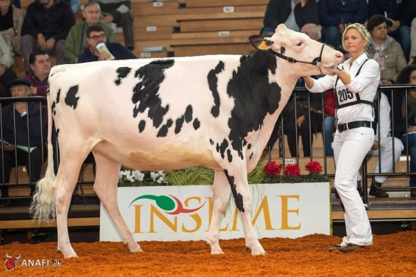 La mucca Kristen dell'azienda agricola Tocchi di Grosseto, prima classificata alla rassegna nazionale di Cremona