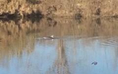 Pisa: è tornato a nuotare in Arno il delfino, è la terza volta in meno di un mese