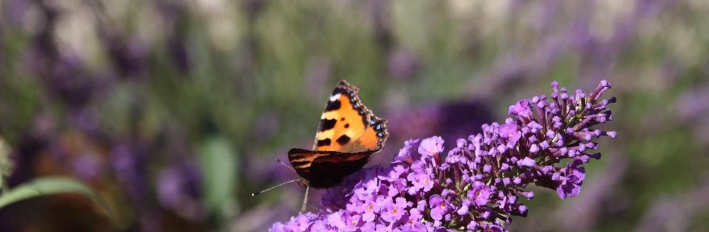 paarsebloemvlinder