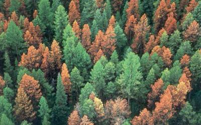 Pine beetle infestations reduce wildfire severity, study suggests