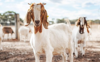 Goats Used as a FireSmart Tactic