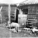 Firs Farm pigs, c.1930
