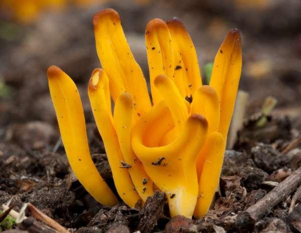 Clavulinopsis fusiformis Golden Spindles identification