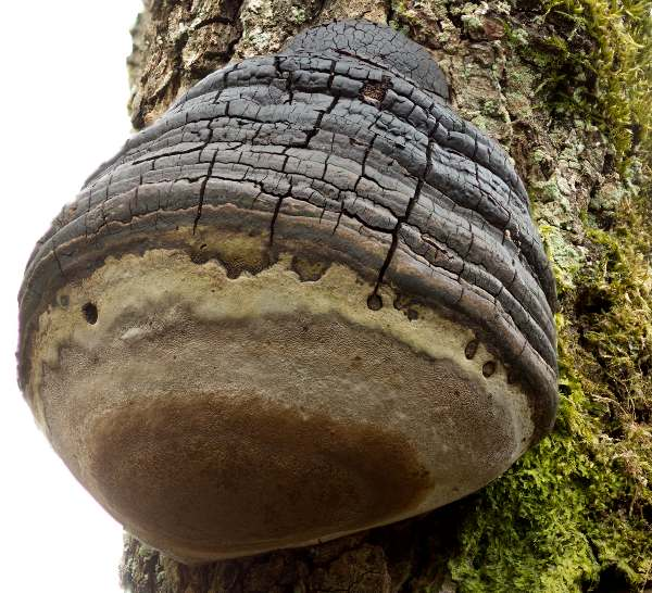 Phellinus igniarius Willow Bracket fungus