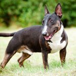 Bull Terrier Temperament