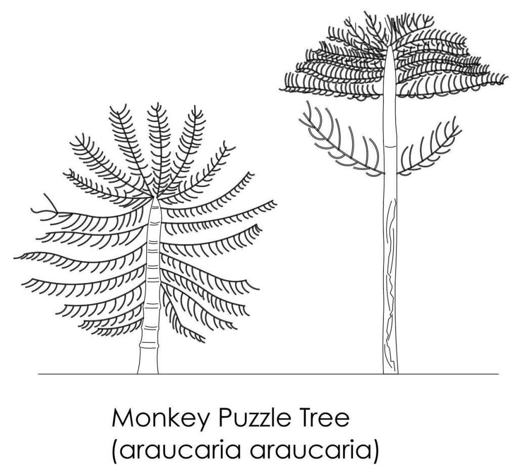 Monkey Puzzle Tree Cad block