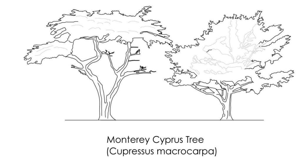 Monterey Cyprus Tree CAD Block