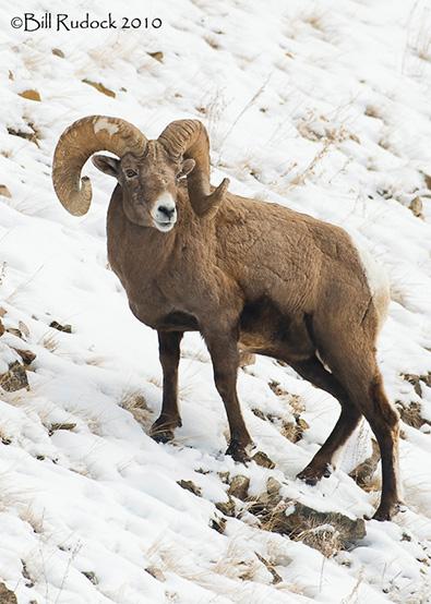 sheeprut