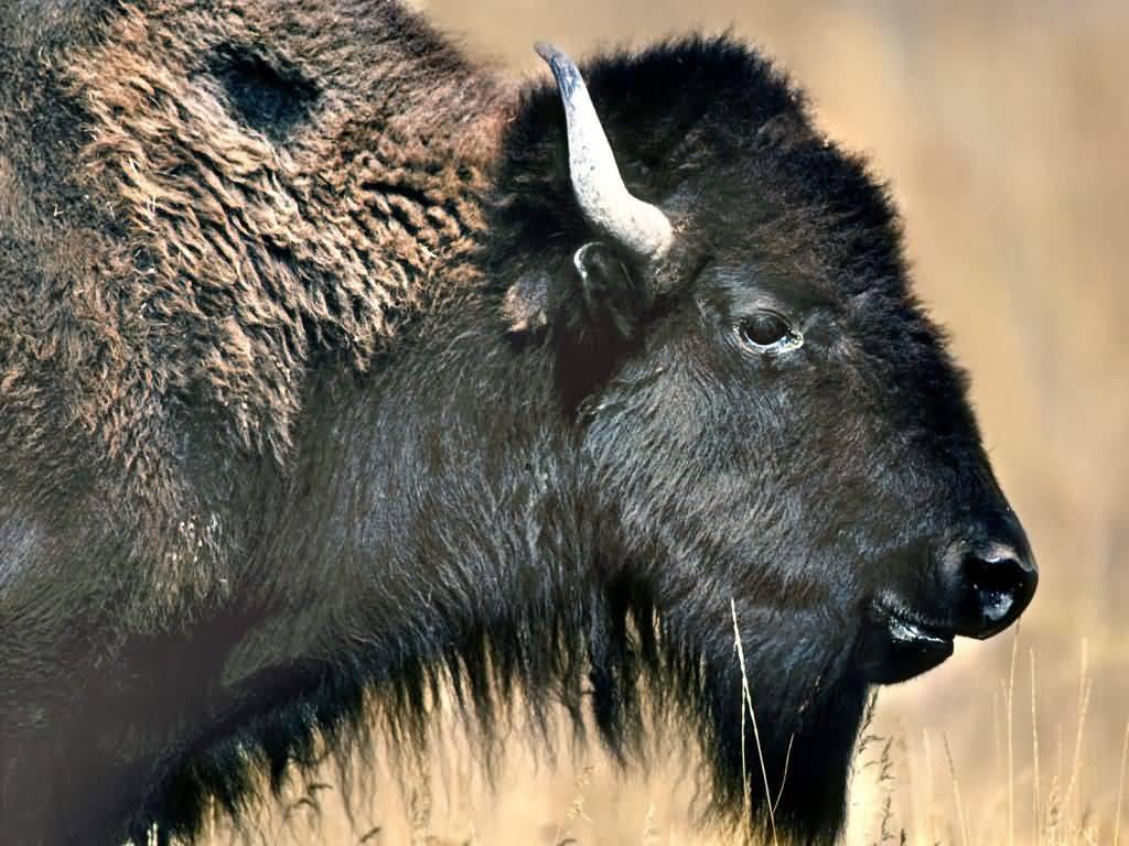 American Plains Bison National Bison Range Montana