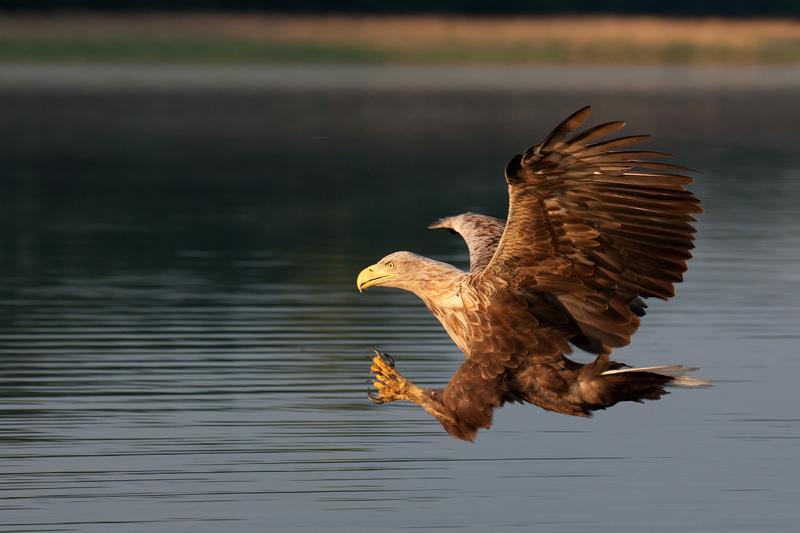 Im Revier des Seeadlers  Fischland Dar Zingst