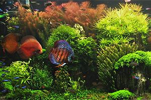 Hollndisches Pflanzenaquarium  Fischlexikoneu