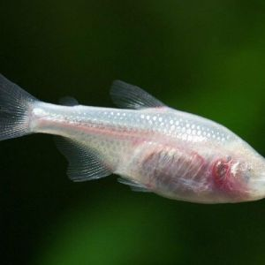 Blind Cave Tetra