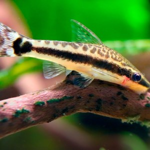 Dwarf Suckermouth Catfish