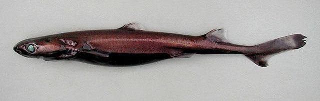 https://i0.wp.com/www.fishbase.org/images/species/Etpus_u0.jpg