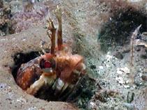 N. uninotatus