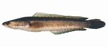 striped snakehead fish