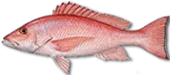 Miami Snapper Fishing