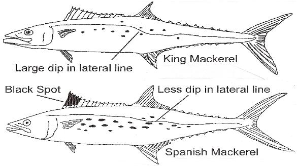 Fishing Destin Guide for catching Spanish Mackerel
