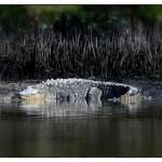 islamorada saltwater crocodile