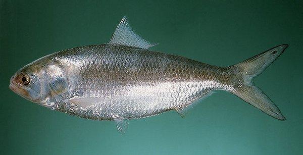 三泥魚(鰣魚) | 魚 類 圖 鑑 - - Powered by PHPWind