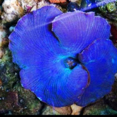Actinodiscus - Discosoma Blu