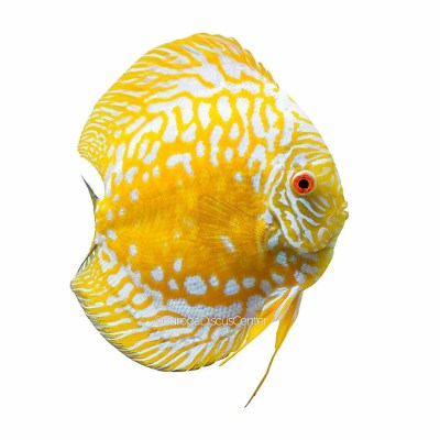 Golden Checkerboard Discus