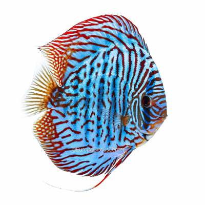 Discus Tiger Turchese