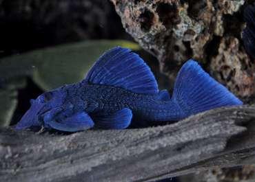 L239 Baryancistrus beggini - Blue Panaque 8/9 cm Nome scientifico: Baryancistrus beggini Lujan, Arce & Armbruster, 2009 Nomi comuni: L239, Blue Panaque Distribuzione: Río Ventuari, 4 ° 04'32''N, 66 ° 53'34''O, drenaggio Río Orinoco, Amazonas, Venezuela. Pronuncia: bah ree ann siss truss