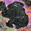 Antennarius nero