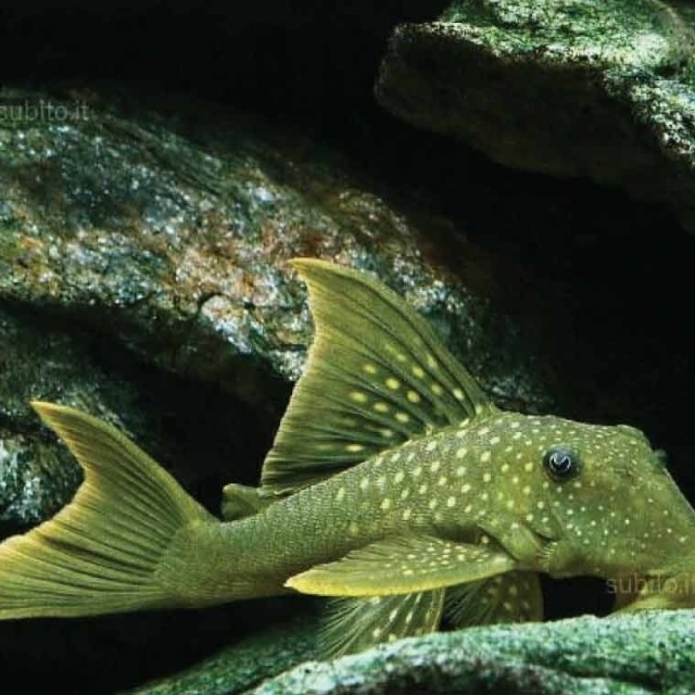 L200 Hemiancistrus subviridis - Green phantom pleco