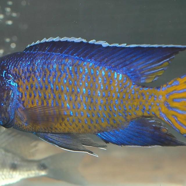Aulonocara Stuartgranti Mdoka - Flametail Peacock