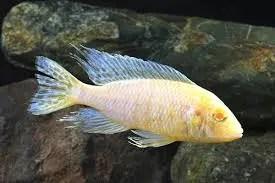 Aulonocara nyassae - Albino peacock