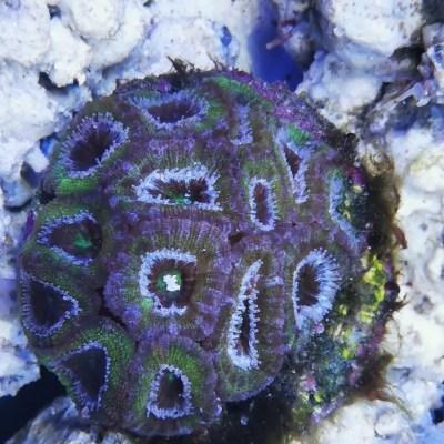 Acanthastrea lordhowensis UCA Aquacultured Green morph