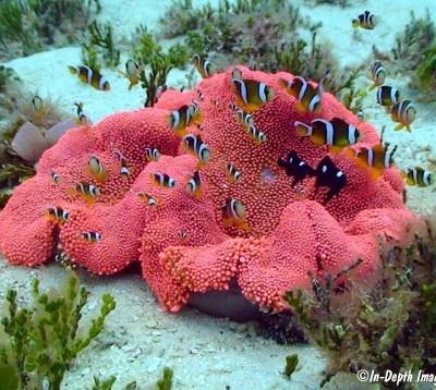 Stichodactyla haddoni rossa